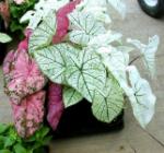 Caladium bicolor otravitor
