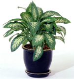 Aglaonema modestum, planta toxica