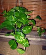 Iedera, planta agatatoare