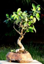 Ficusul este otravitor