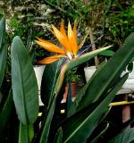 Floarea Pasarea paradisului