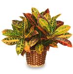Croton, planta otravitoare