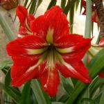 Amaryllis, Hippeastrum, planta otravitoare