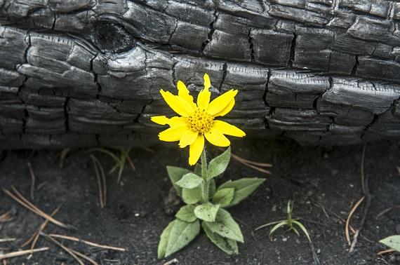 Floare aparuta in solul regenerat dupa un incendiu de padure