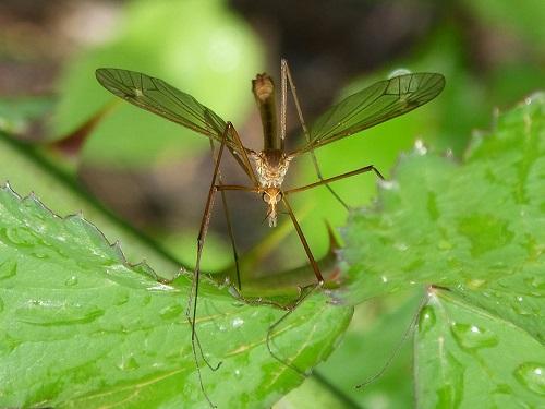 Țânțar aplat pe frunze