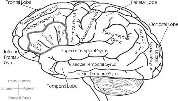Structura creierului
