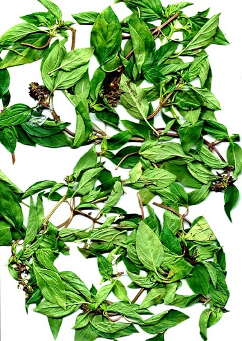 Frunze de coriandru