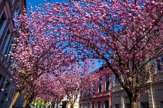 Pomi infloriti in oras