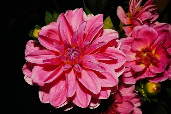 Dalia face si ea parte dintre cele mai frumoase flori din lume