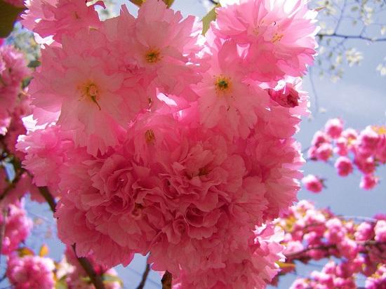 Florile de cires din Japonia, unele dintre cele mai frumoase flori din lume