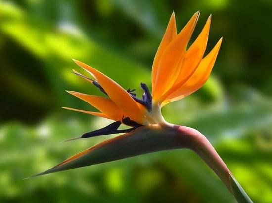 Floarea Pasarea-Paradisului