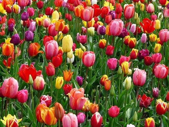 Laleaua-una dintre cele mai frumoase flori din lume