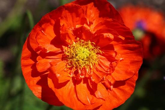 Macul Oriental este si el inclus in randul celor mai frumoas flori din lumee