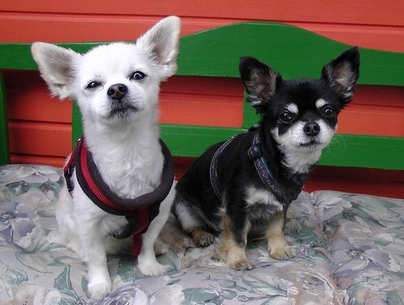 Rasă de câini mici- Chihuahua