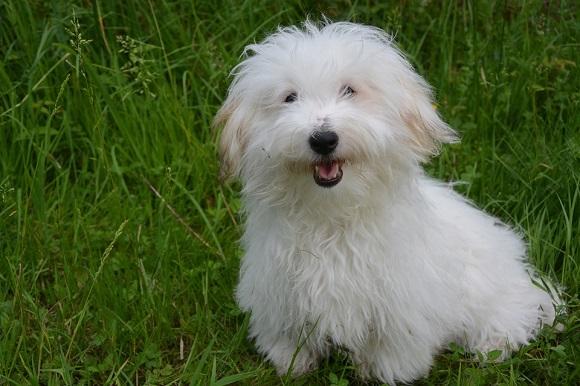 Rasă de câini mici- Coton de Tulear