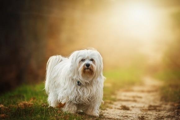 Rasă de câini mici- Bichon Havanez