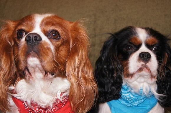 Rasă de câini mici- Cavalier King Charles Spaniel