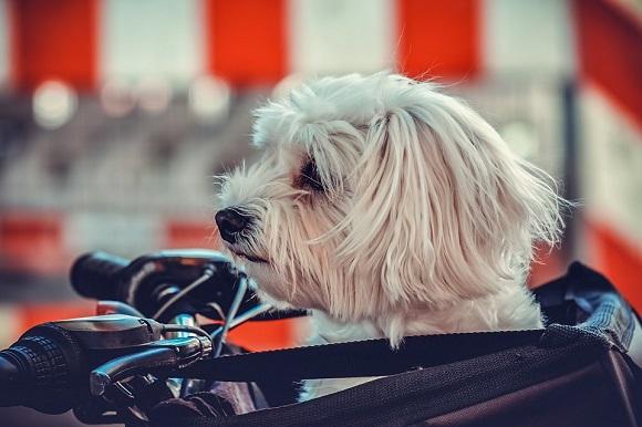Rasă de câini mici- Maltez