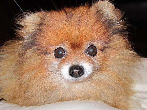 Rasă de câini mici- Pomeranian