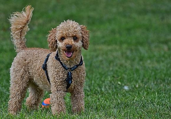 Rasă de câini mici-Pudel