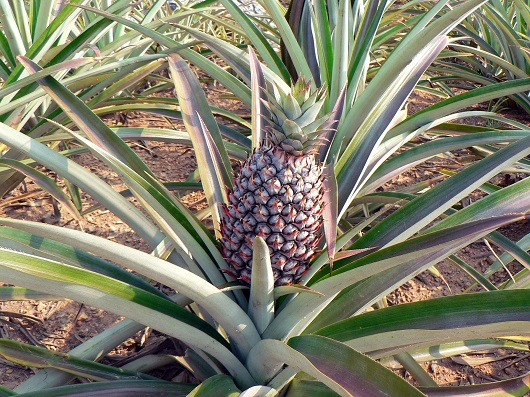 Tufis de ananas