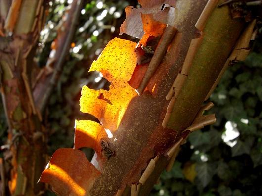 Arbore de scortisoara