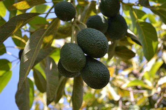 Avocado in copac
