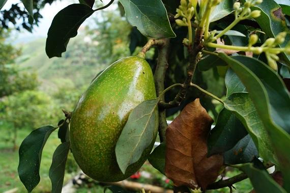 Arbore de avocado