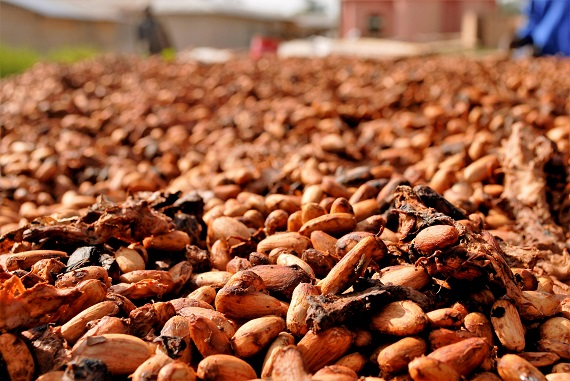 Boabe de cacao puse la uscat
