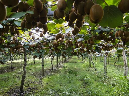 Kiwi in arbust