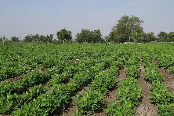 Plantatie de alune de pamant
