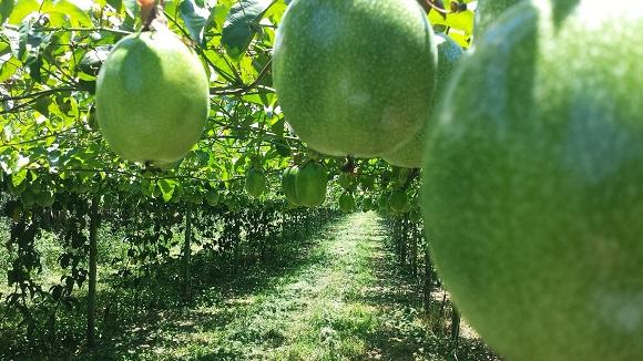 Fructul-pasiunii in copac