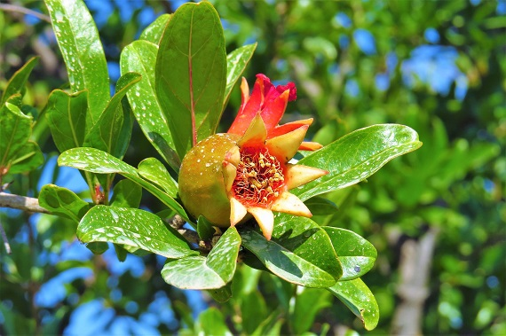 Floare din arborele in care va creste rodia