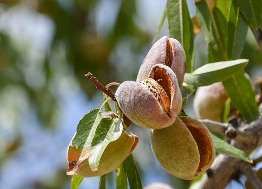 Fruct din care se extrag samburii de migdale