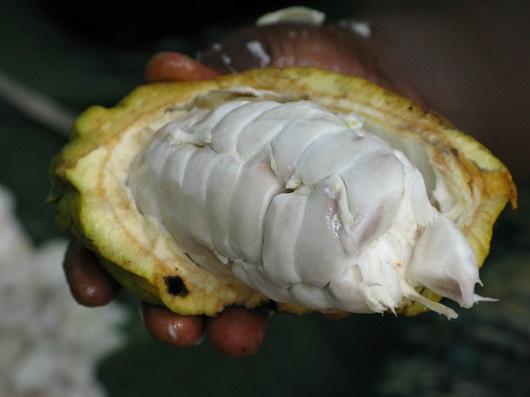 Fruct al arborelui din cacao