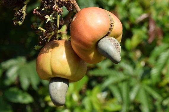 Fructul din care se va dezvolta caju