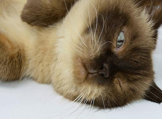 Pisica din rasa British Shorthair