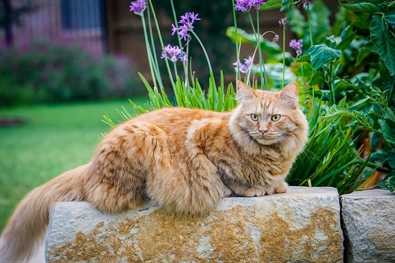 Pisica din rasa Maine Coon