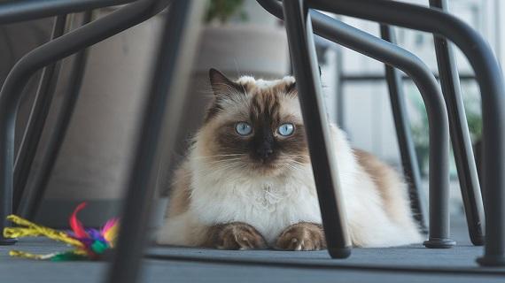 Pisica din rasa Ragdoll