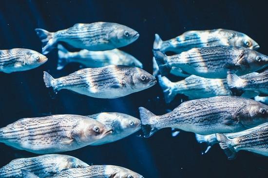 Tonul, unul dintre cei mai buni pesti din lume