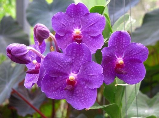 Din violete se poate obtine un ulei pentru tratarea vergeturilor