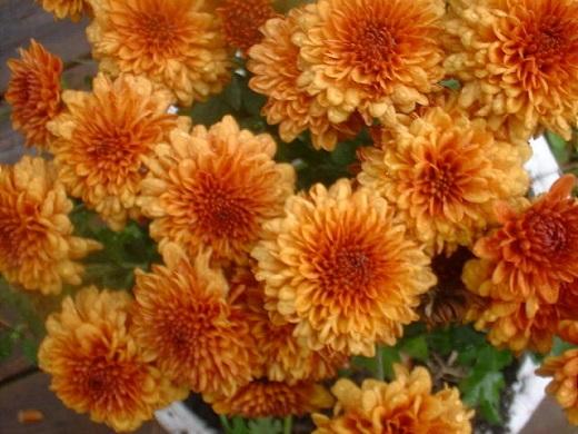 Crizantema, floare simbol al zodiei scorpion