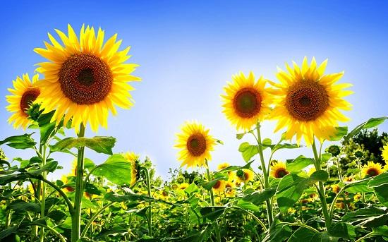Floarea-soarelui, simbol al leului in zodiacul floricol