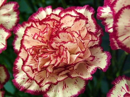 Garoafa, floare simbol pentru zodia capricorn