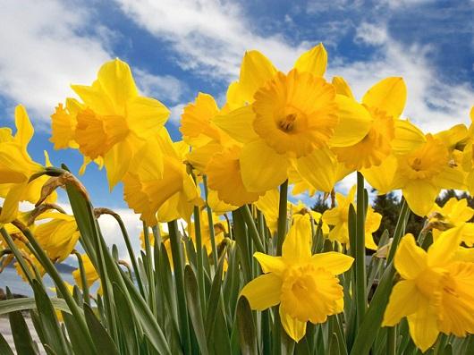 Narcisa, floare simbol al zodiei sagetator