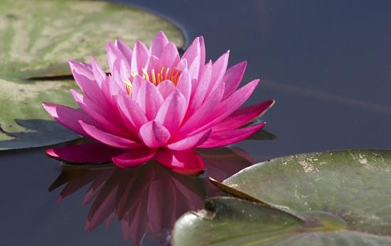 Nufarul, floare-simbol pentru zodia pestilor