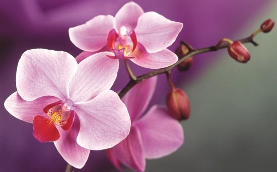 Orhideea, floarea din zodiacul floricol ce-i corespunde zodiei varsator