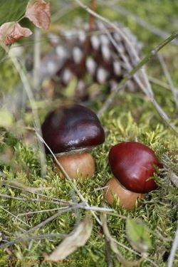 ciuperci din castane si ghinde