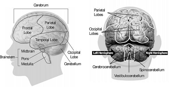 Partile creierului uman