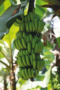 bananieri